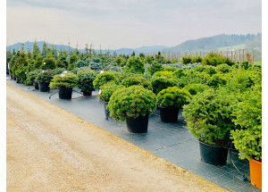 Abies lasiocarpa Green Globe