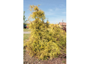 Chamacyparis pisifera filifera Aurea