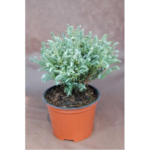 Chamaecyparis pisifera Baby Blue