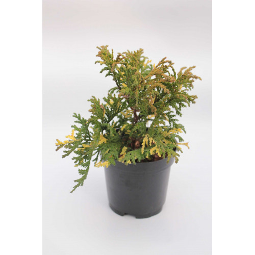 Chamaecyparis pisifera Nana Aureovariegata