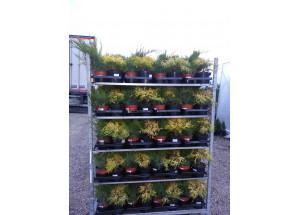 Chamaecyparis Juniperus Mix
