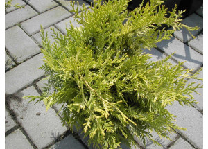 Chamaecyparis obtusa Gold Spangle