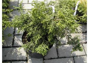 Chamaecyparis obtusa Torulosa