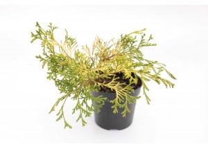 Chamaecyparis pisifera Golden Mop