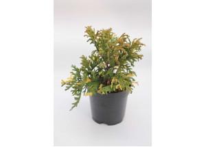 Chamaecyparis pisifera Mini Variegata