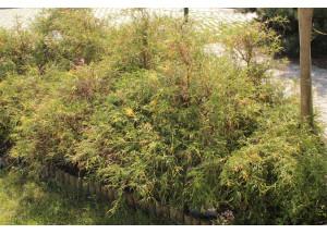 Chamaecyparis pisifera filifera Aureovariegata