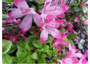 Azalea japonica Izum No Mai