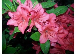 Azalea japonica Orange Beauty