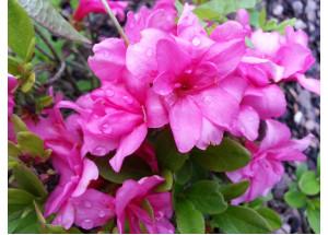 Azalea japonica Rosebud