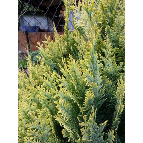 Chamaecyparis lawsoniana Alumii Gold