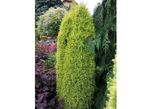 Juniperus communis Suecica Aurea