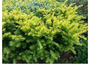 Taxus cuspidata Aurescens