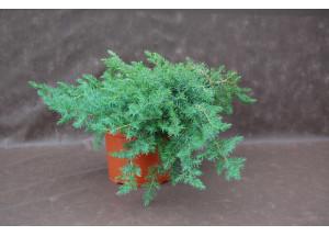 Juniperus conferta Schlager
