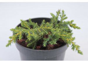 Juniperus chinensis Daubs Frosted