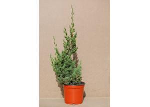 Juniperus chinensis Kaizuka
