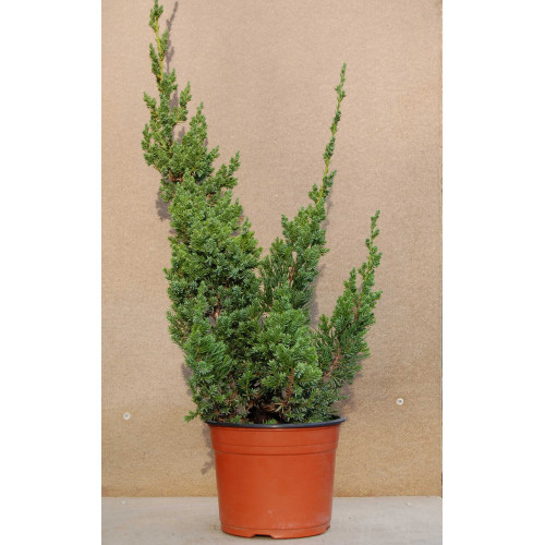 Juniperus chinensis Robusta Green