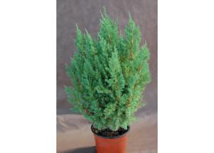 Juniperus communis Stricta