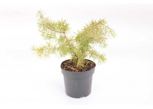 Juniperus communis Kalebab