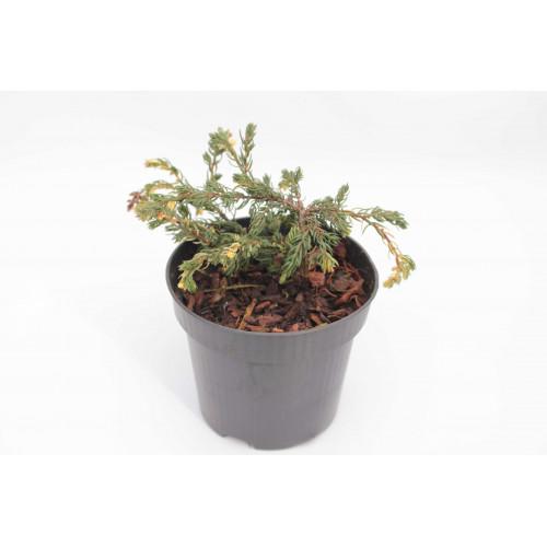 Juniperus communis Spoty Spreader