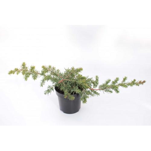Juniperus conferta Blue Pacific
