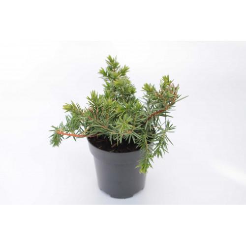 Juniperus conferta Emerald See