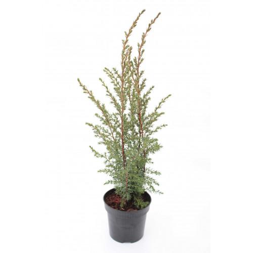 Juniperus conferta Franklin Constance