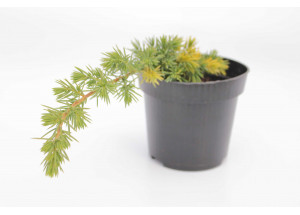 Juniperus conferta Golden Wings