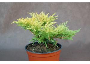 Juniperus horizontalis Lime Glow