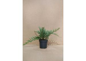 Juniperus horizontalis Bar Harbor