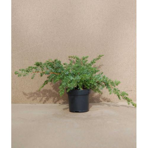 Juniperus horizontalis Blue Pacific