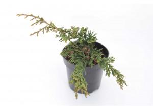 Juniperus horizontalis Conglomerata