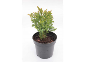 Juniperus horizontalis Andora Compacta