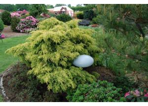 Juniperus pfizeriana Old Gold