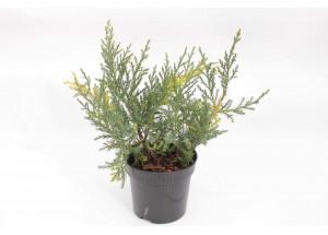 Juniperus pfizeriana Blue and Gold