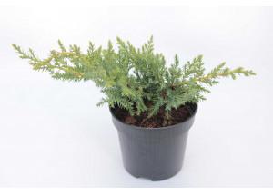 Juniperus pfizeriana Gold Kissen