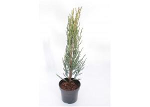Juniperus scopulorum Blue Arow