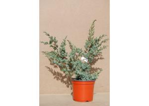 Juniperus squamata Blue Alps