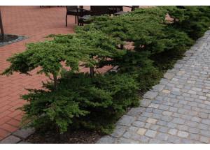Juniperus Bonsai
