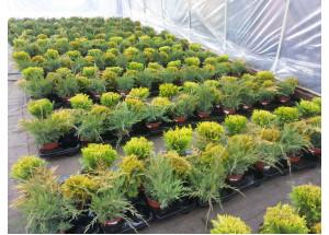 Juniperus Thuja Mix