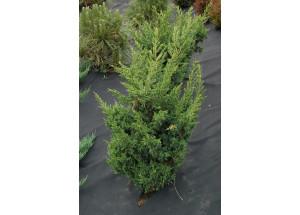 Juniperus chinensis Blaaw