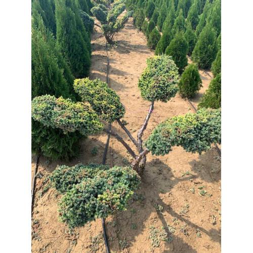 Juniperus chinensis Blu Alps