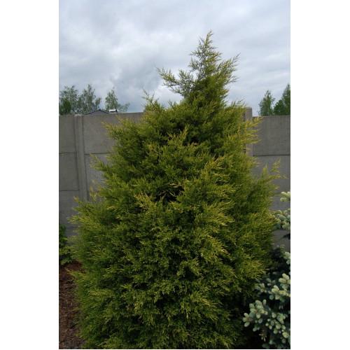 Juniperus chinensis Kuriwago Gold
