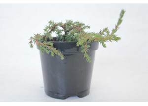 Juniperus communis Zeal
