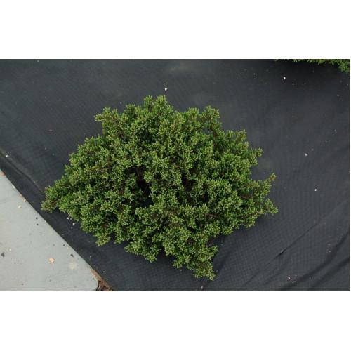 Juniperus communis Anna-Maria