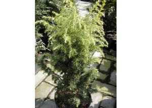 Juniperus communis Schneverdinger Goldmachangel
