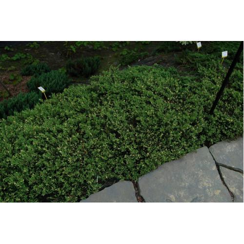 Juniperus communis Spotty Spreader