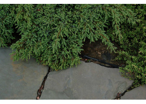 Juniperus communis Sterling Silver