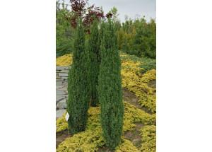 Juniperus communis Suecica Nana