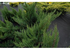 Juniperus horizontalis Alpine