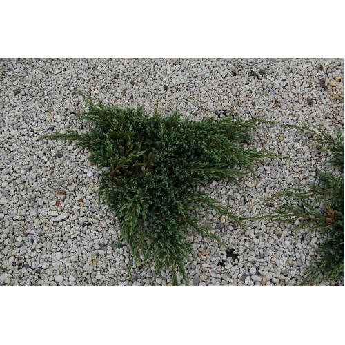 Juniperus horizontalis Blue Carpet